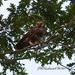 LHG-7673-Barred owl- hoot by rontu