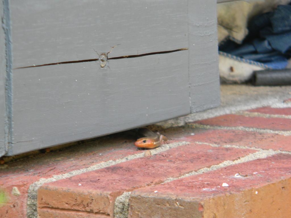 Lizard Peeking Underneath Porch by sfeldphotos