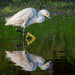 Reflections of a Snowy Egret by backyardbirdnerd