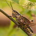 Eastern Lubber Grasshopper! on 365 Project