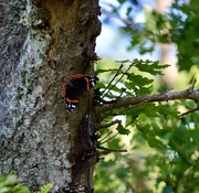 13th Jun 2020 - Red Admiral