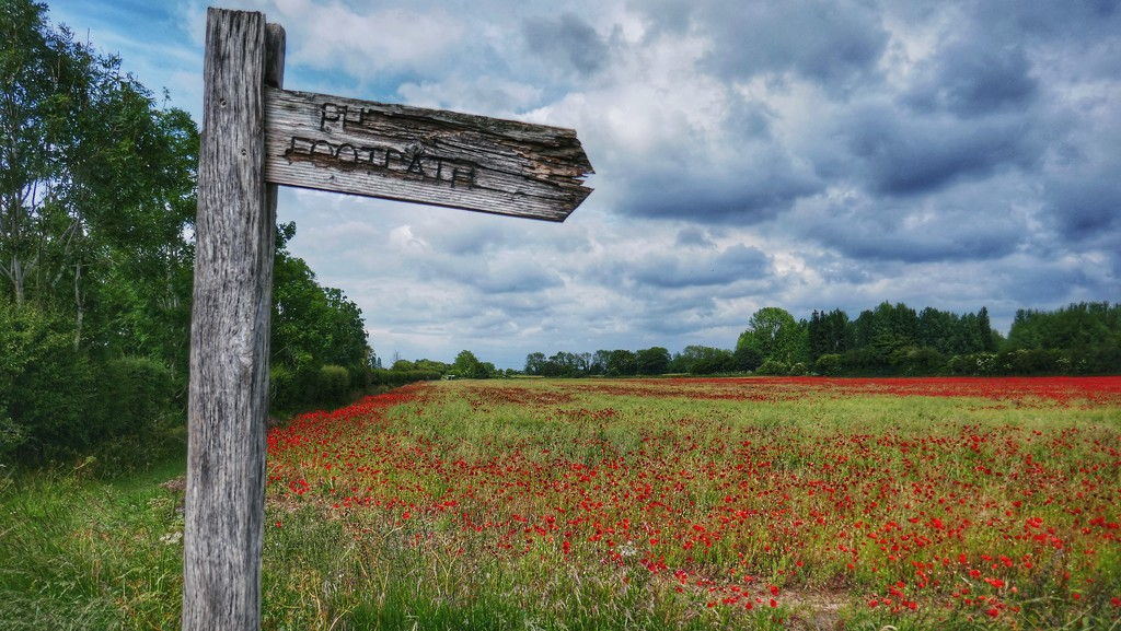 This way for poppies by photopedlar