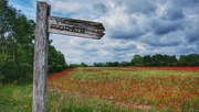 12th Jun 2020 - This way for poppies