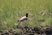 13th Jun 2020 - American Oystercatcher