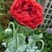 Gloriously - a poppy  by beryl