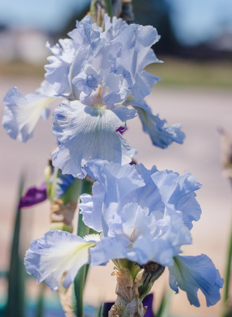 irises by aecasey