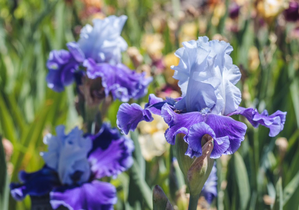 so many irises by aecasey