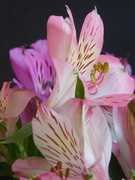 13th Jun 2020 - These are the Alstro that my husband had delivered for me last weekend - still absolutely gorgeous