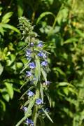 13th Jun 2020 - Common Viper's Bugloss