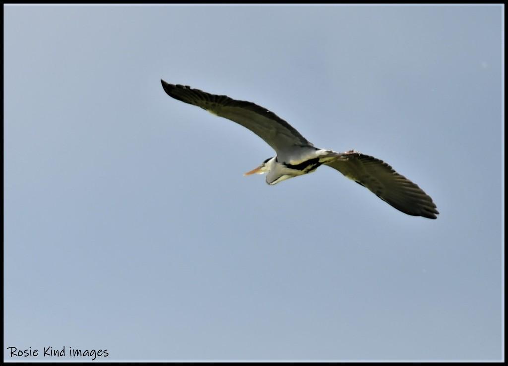 RK3_8756 Heron taking flight by rosiekind