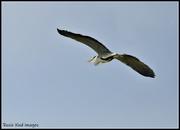 13th Jun 2020 - RK3_8756 Heron taking flight