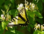 13th Jun 2020 - Swallowtail Butterfly