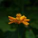 Orange cosmos by randystreat