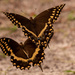 Palamedes Swallowtail Butterflys Just Floating Around! by rickster549