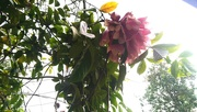 15th Jun 2020 - This beautiful flower covered the archway in