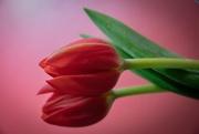 13th Jun 2020 - Tulip