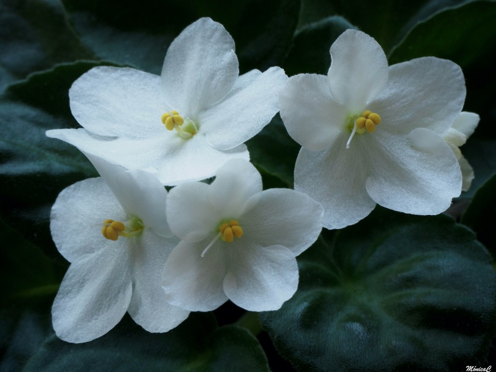 White African Violets by monicac