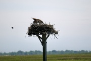 14th Jun 2020 - Osprey