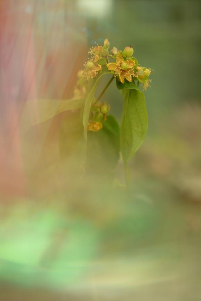 Dreamy flowers and buds........... by ziggy77
