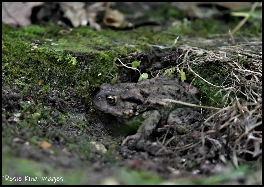 RK3_8776 Mr Toad by rosiekind