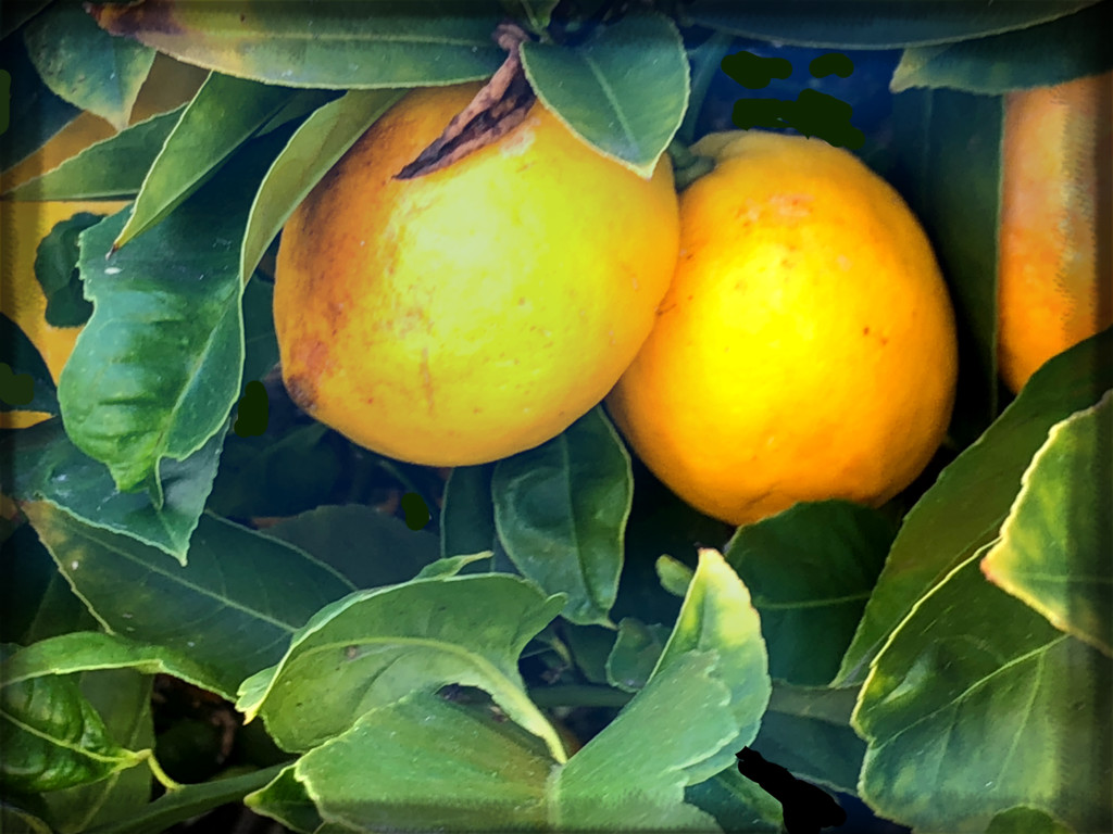 30 Days Wild 2020 Day 14 Lemons by kathyboyles