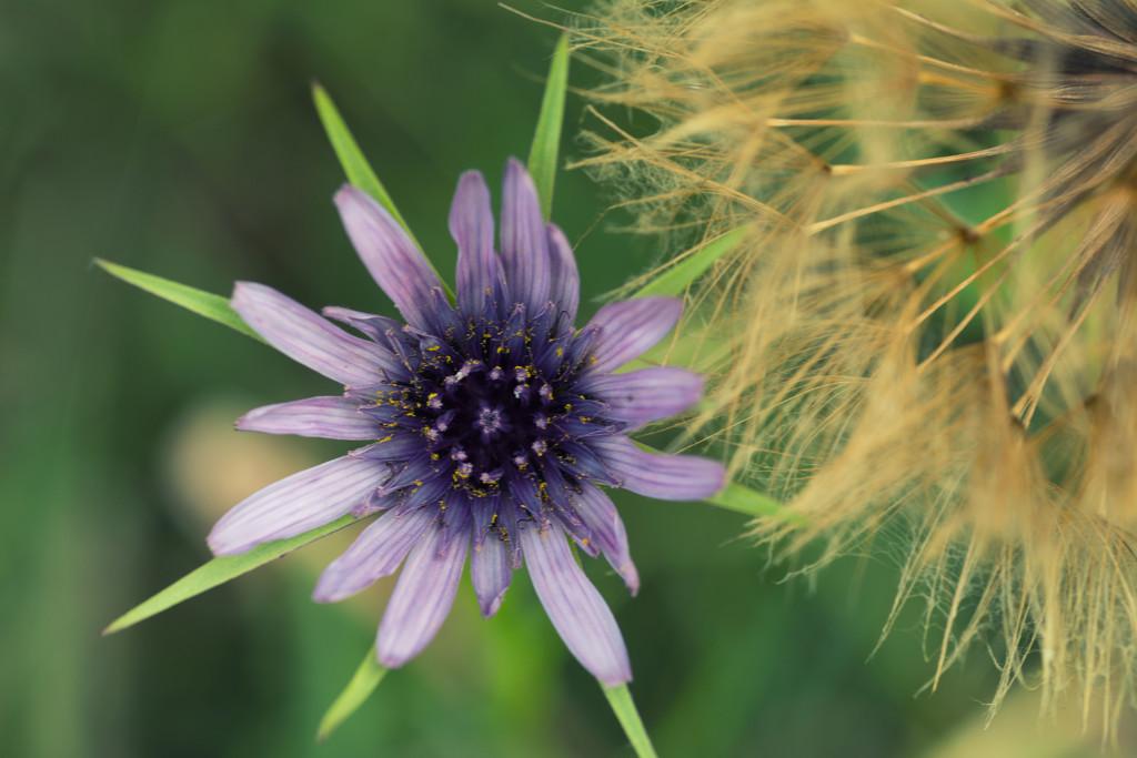 Salsify flower and seedhead by rumpelstiltskin