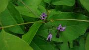 14th Jun 2020 - Little Purple Flowers