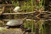 15th Jun 2020 - Painted Turtle