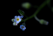 14th Jun 2020 - Forget me not