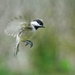 Chickadee In Flight by lsquared