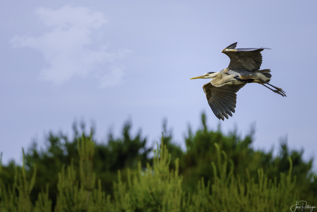 Blue Heron Showing His Undercarriage by jgpittenger