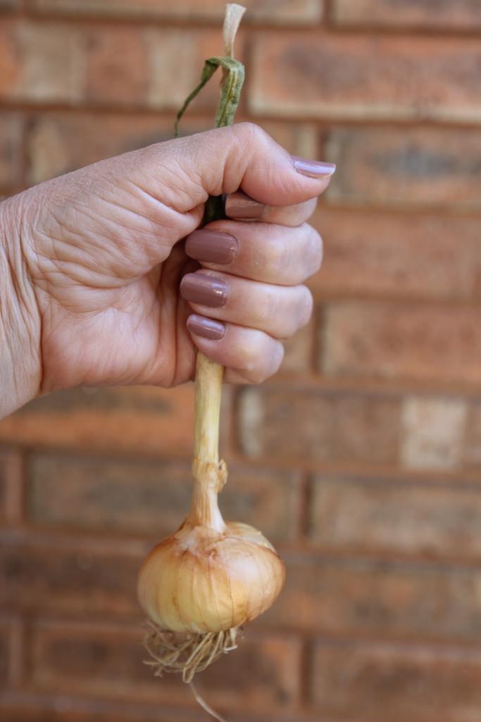Onion by judyc57