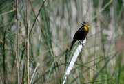 13th Jun 2020 - Female Yellow-Headed Blackbird