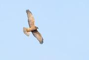 15th Jun 2020 - Australasian harrier hawk