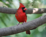 11th Jun 2020 - Mr. Cardinal