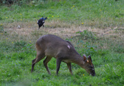 15th Jun 2020 - The Muntjac and the Magpie