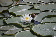 15th Jun 2020 - Lily pads