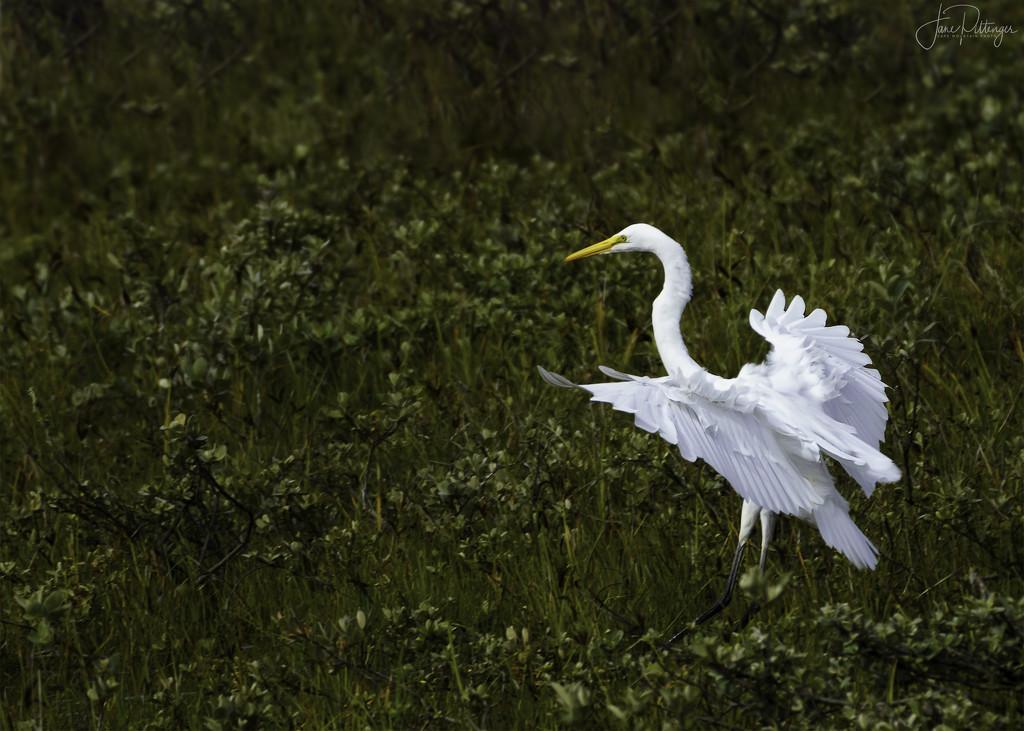 White Egret Fluffing Her Petticoats  by jgpittenger