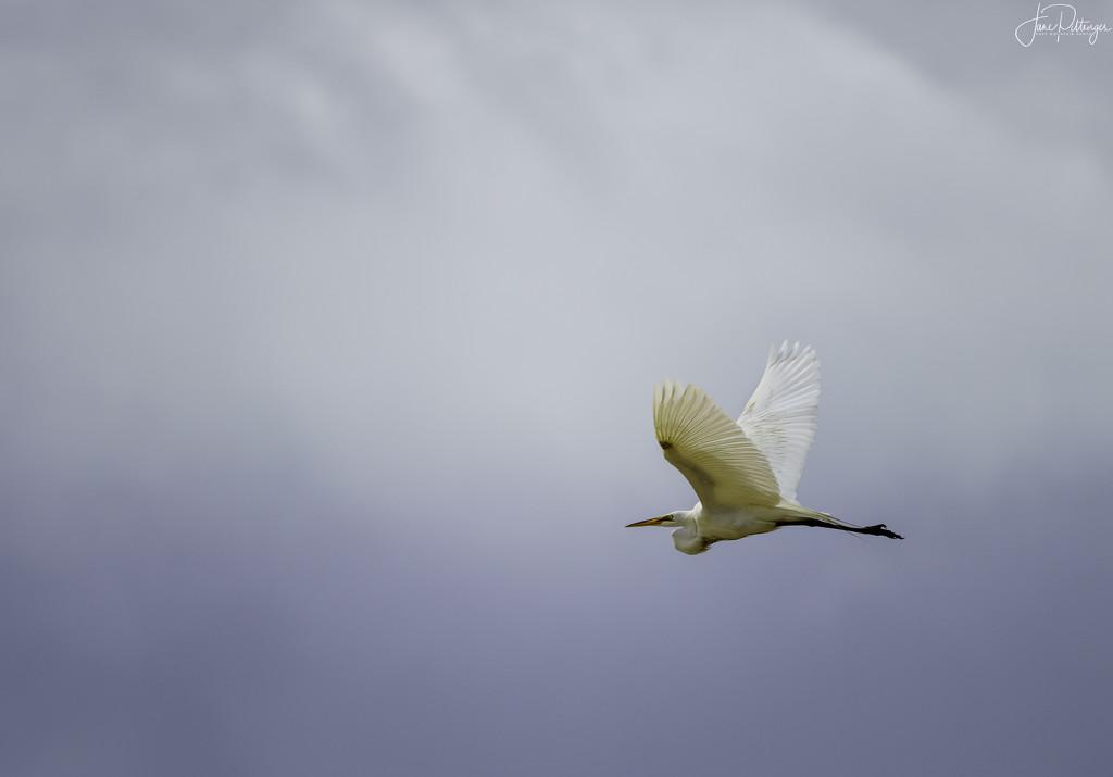 White Egret Flying Into the Light by jgpittenger