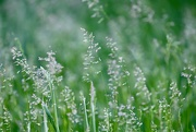15th Jun 2020 - Summer Grasses
