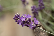 15th Jun 2020 - Lavender