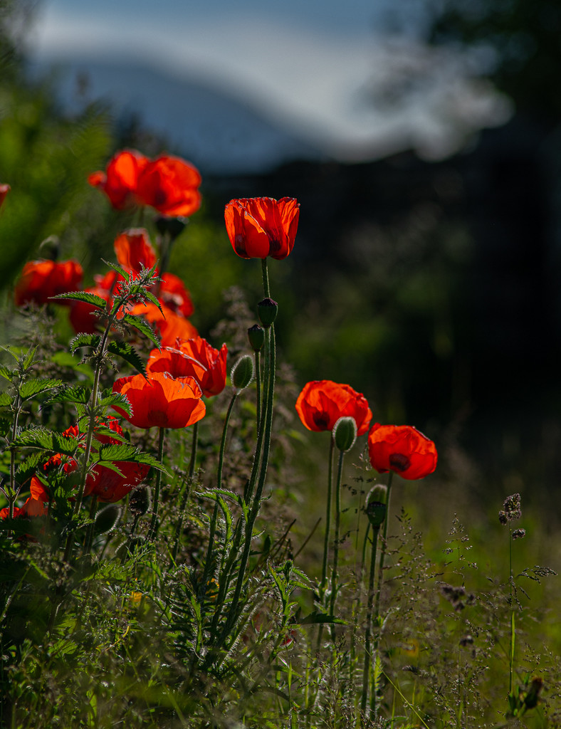 Poppies by inthecloud5