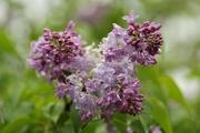 16th Jun 2020 - Lilac's