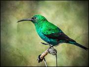 16th Jun 2020 -  Malachite Sunbird