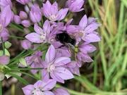 15th Jun 2020 - Black Bumblebee
