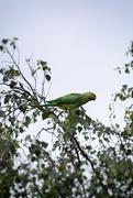 16th Jun 2020 - Parakeet
