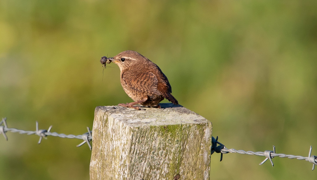 How to Stop a Wren Singing. by lifeat60degrees