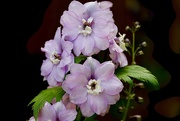 16th Jun 2020 - Delphinium