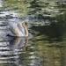 Swan  by lynnz