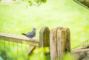 16th Jun 2020 - Waiting For A Turn At The Feeder